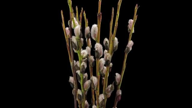 Blooming Willow Catkins: Stock Video