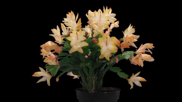 Orange Christmas Cactus: Stock Video