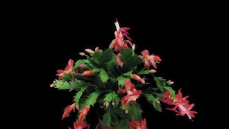 Pink Christmas Cactus Blossoming : Stock Video
