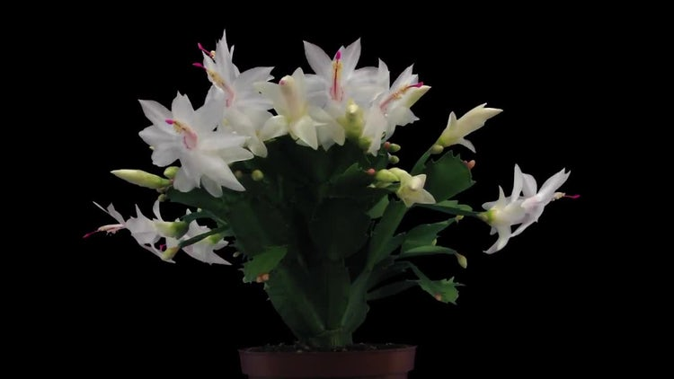 Blooming White Christmas Cactus: Stock Video