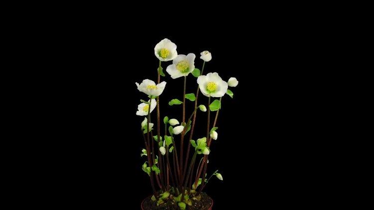 Helleborus Christmas Rose Opening: Stock Video