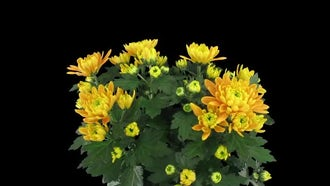 Chrysanthemum Flowers Opening: Stock Video