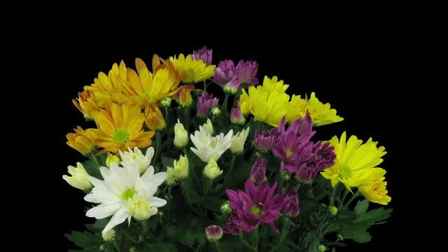 Chrysanthemum Flowers Opening: Stock Video
