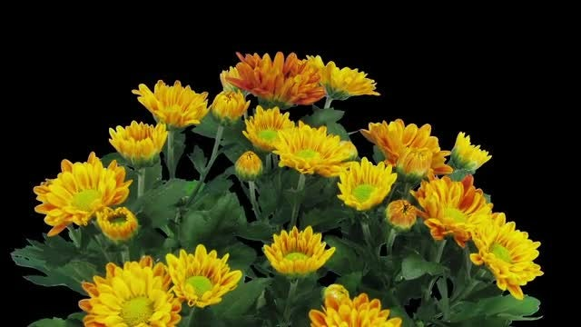 Opening Orange Chrysanthemums: Stock Video