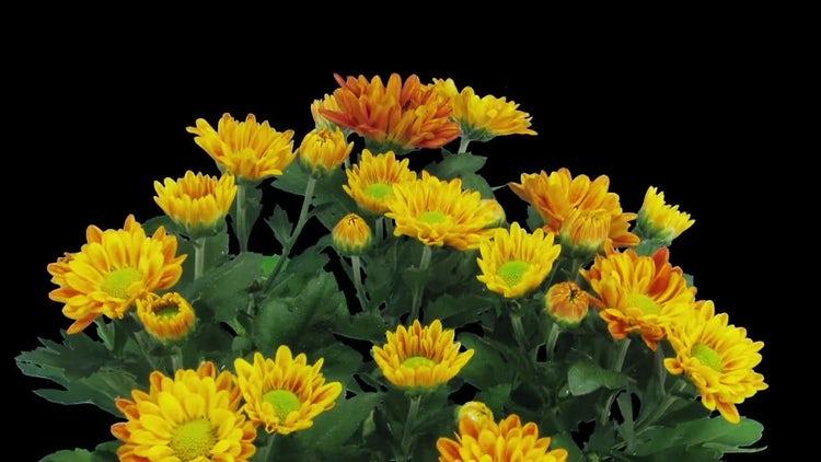 Opening Orange Chrysanthemums: Stock Video