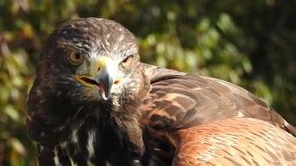 Harris Hawk Eagle Hybrid Headshot: Stock Video