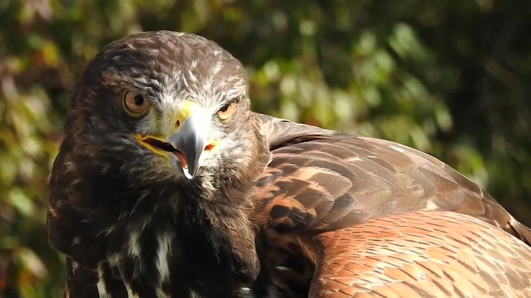 Harris Hawk Eagle Hybrid Headshot: Stock Video