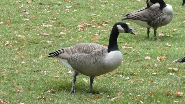 Canadian Goose Preens Its Feathers: Stock Video