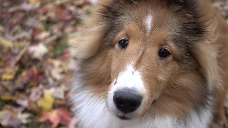 Shetland Shelby Dog: Stock Video