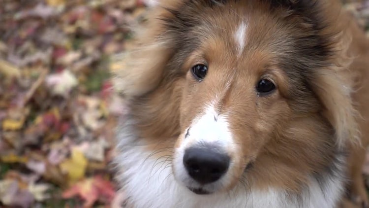 Shetland Shelby Dog: Stock Video