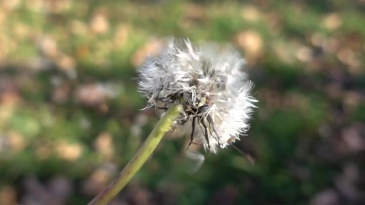 Dandelion Dispersal In Slow Motion: Stock Video