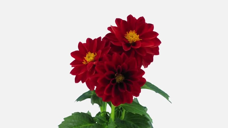 Opening Red Dahlia Flower: Stock Video