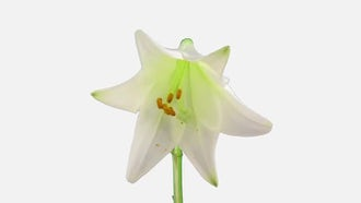 Opening White Easter Lily: Stock Video