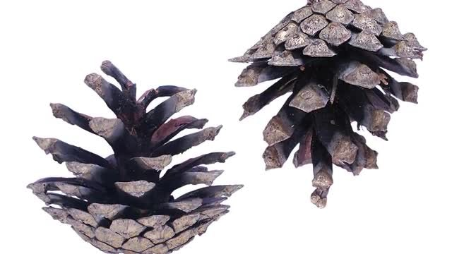Opening Pine Cones: Stock Video
