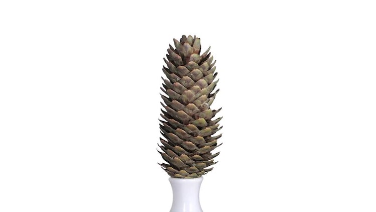 Time-lapse of Pine Cone Opening: Stock Video