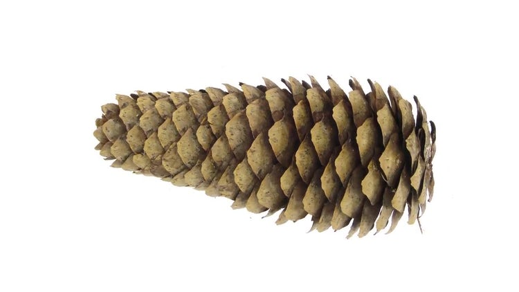 Opening Fir Tree Cone: Stock Video