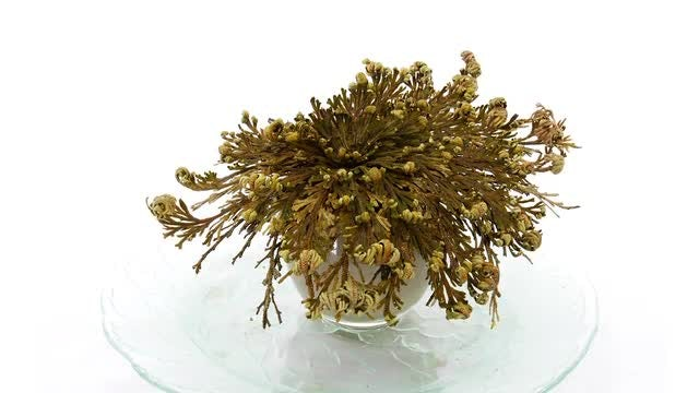 Rose Of Jericho (Resurrection Plant): Stock Video
