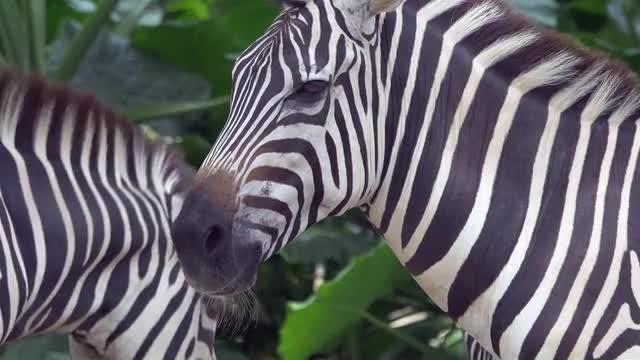 Close-Up Of An African Zebra : Stock Video