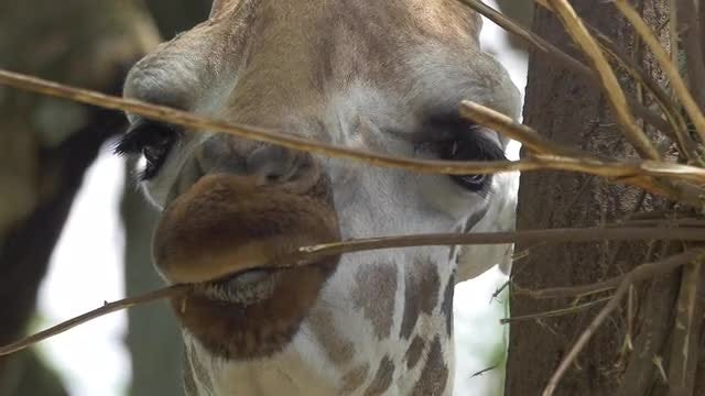 Close-up Of Giraffe Eating Twigs : Stock Video