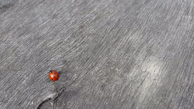 Ladybug Crawls On Wooden Table: Stock Video