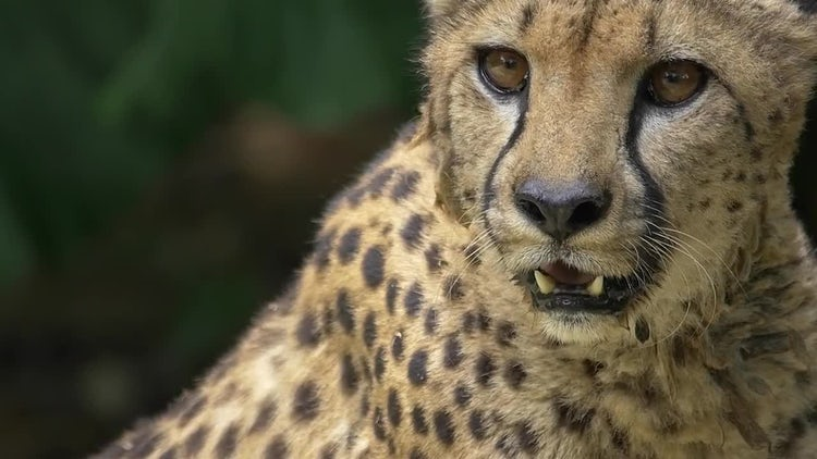 Cheetah Closeup - Big Cat: Stock Video