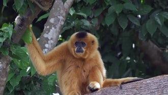 Yellow-Cheeked Gibbon Monkey : Stock Video