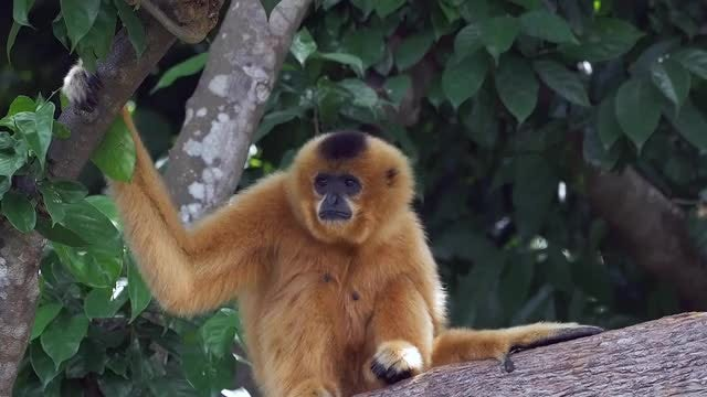 Yellow-Cheeked Gibbon Monkey : Stock Video