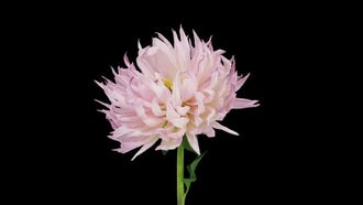 Dying Pink Dahlia Flower: Stock Video