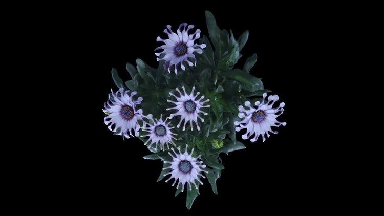 Rain Daisy Flowers Opening: Stock Video
