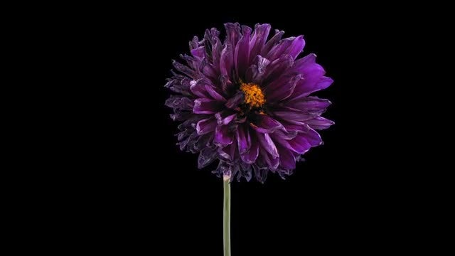 Purple Dahlia Flower Withering: Stock Video