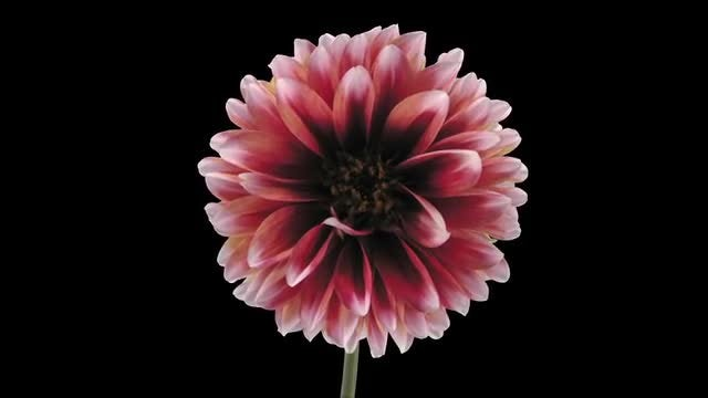 Red-White Dahlia Flower Wilting: Stock Video