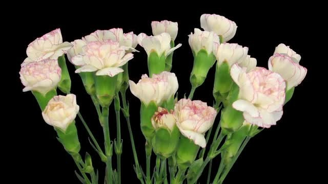 Pink-White Dianthus Flowers: Stock Video