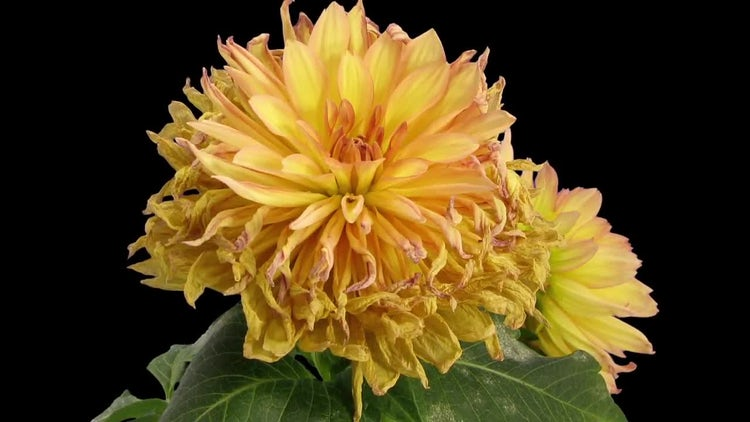 Yellow Dahlia Flower Withering: Stock Video