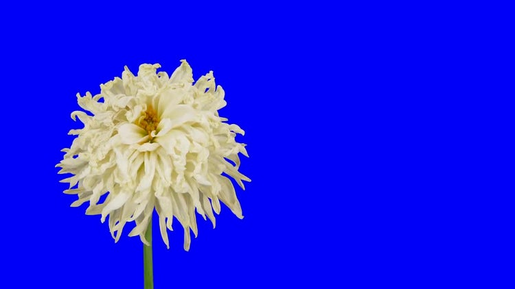 White Dahlia Flower Dying: Stock Video