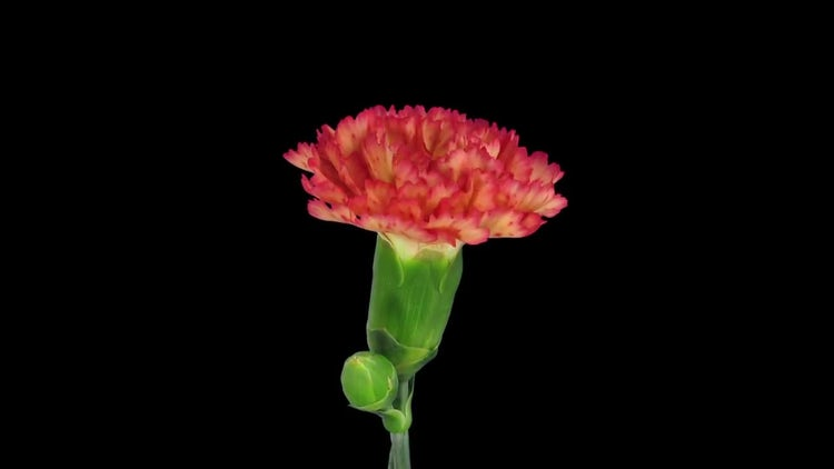 Red Dianthus Flower Opening: Stock Video
