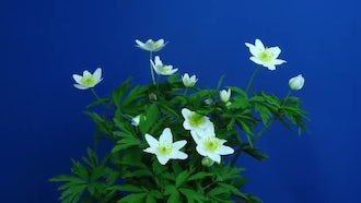 Anemone Nemorosa Flower Growing: Stock Video