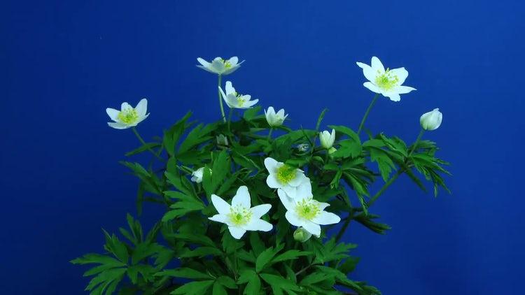 Anemone Nemorosa Flower Growing: Stock Video