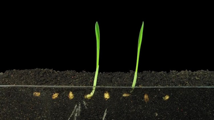 Growing Wheat Seeds: Stock Video
