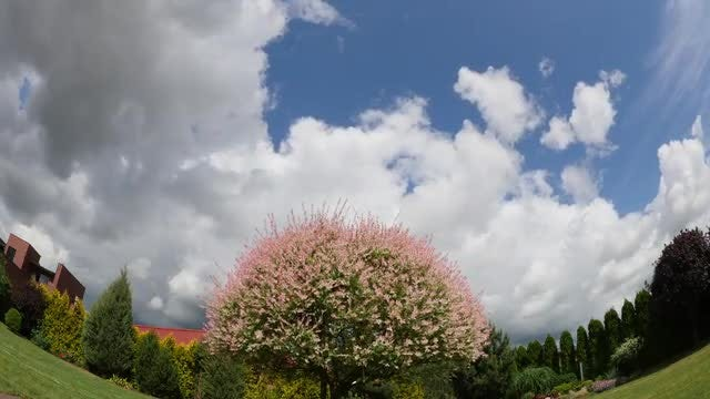 Blooming Willow Tree : Stock Video