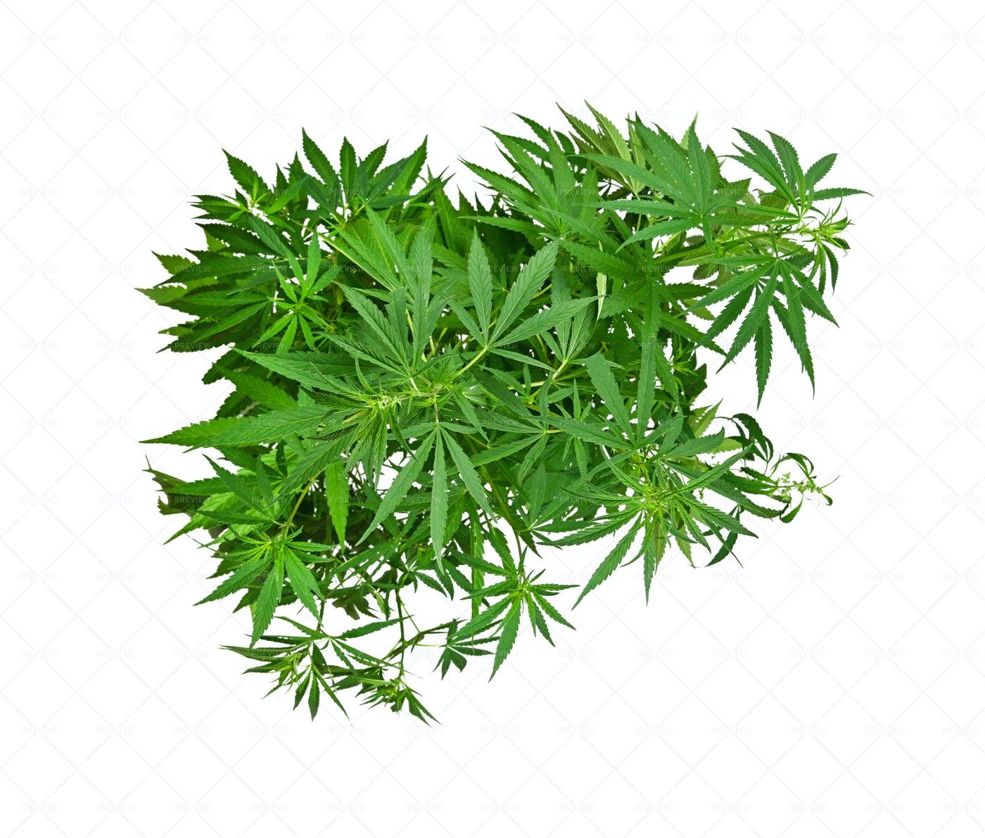 A Cannabis Plant: Stock Photos