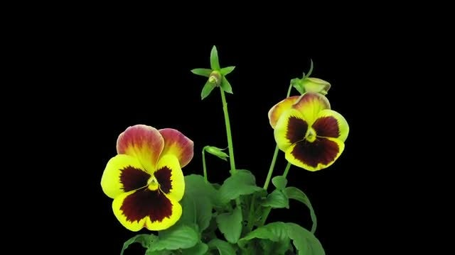 Violet Flowers Opening : Stock Video