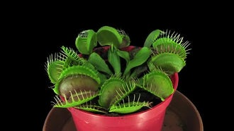 Venus Flytrap Plant: Stock Video