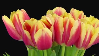 Pretty Tulips Grow: Stock Video
