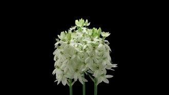 Star-Of-Bethlehem Flowers Open: Stock Video