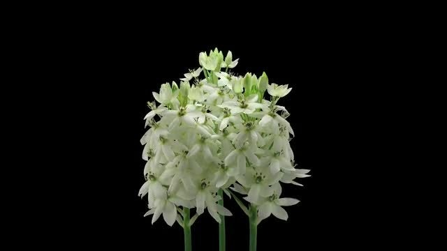 Star-Of-Bethlehem Flowers Open: Stock Video