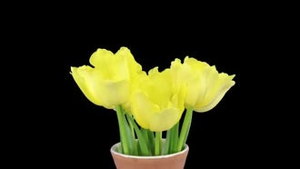 Yellow Tulips Bouquet Growing: Stock Video