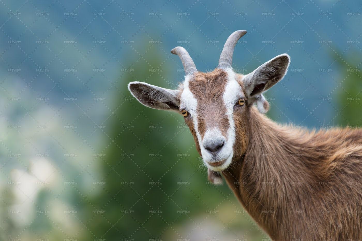 Goat: Stock Photos