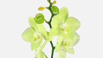 Yellow Orchid Flowers Opening: Stock Video
