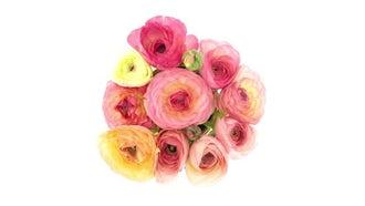 Ranunculus Flowers Bouquet Opening: Stock Video
