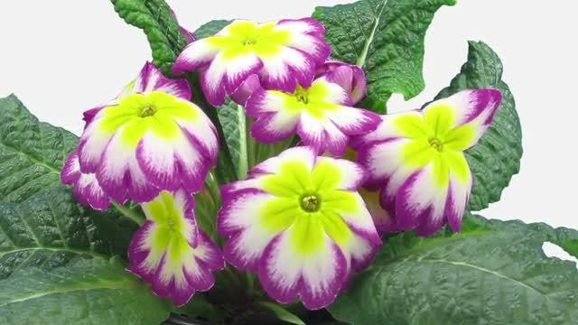Purple-Yellow Primula Primasan Flowers: Stock Video